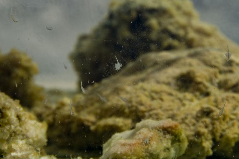 Crustaceos de los que se alimentan los Flamencos y les dan su color